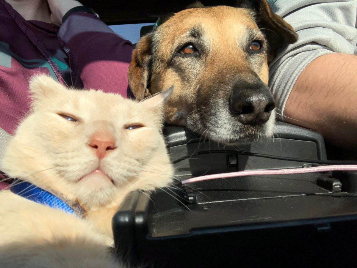 Albus, a white domestic short hair cat, and Stella, a German Shepherd mix relaxing on a car ride during a sunny spring day