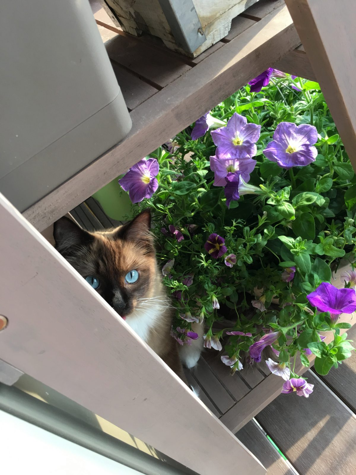 Jarome, a gray ragdoll enjoying a cool summer morning by some flowers